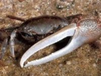 10 Facts about Fiddler Crabs