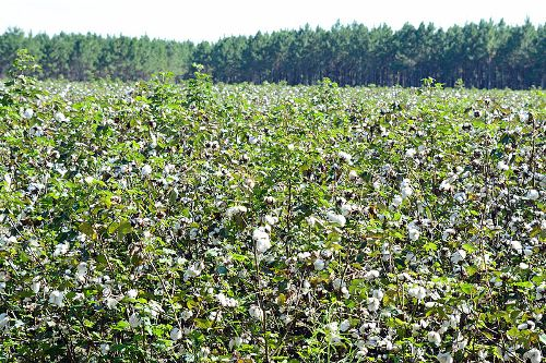 Facts about Fair Trade Cotton