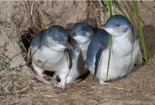 Fairy Penguins Image