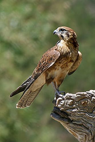Facts about Falcons
