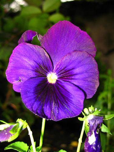February Viola