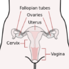 10 Facts about Female Reproductive System