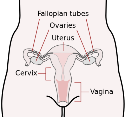 Facts about Female Reproductive System