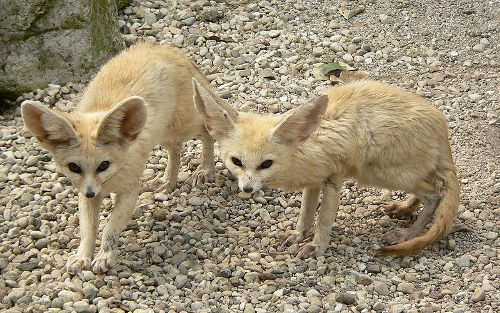 Facts about Fennec Foxes