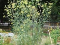 10 Facts about Fennel