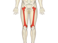 10 Facts about the Femur