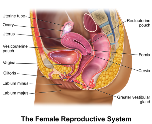 Female Reproductive System Image