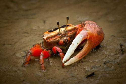 Fiddler Crab Pic