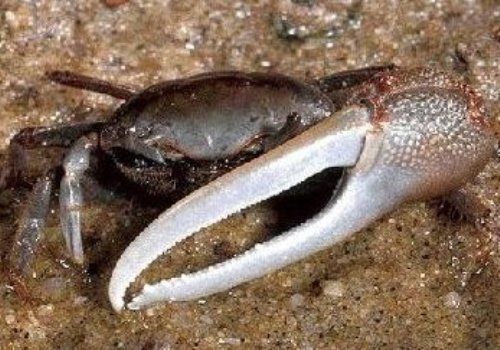 facts about Fiddler crab
