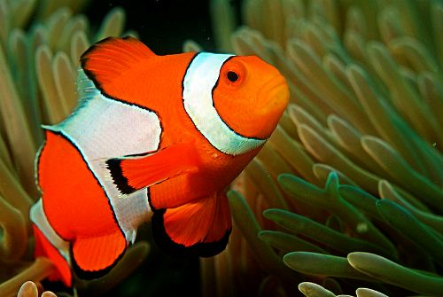 Finding Nemo Clown Fish