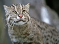 10 Facts about Fishing Cats