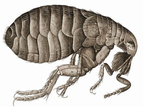 flea Pic